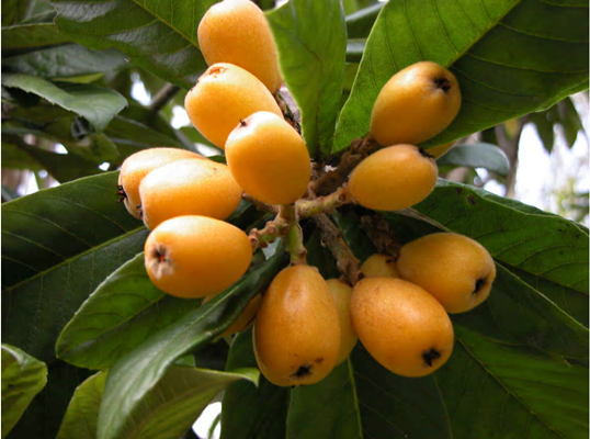 Loquats flower in the fall and fruit matures in the springjpg