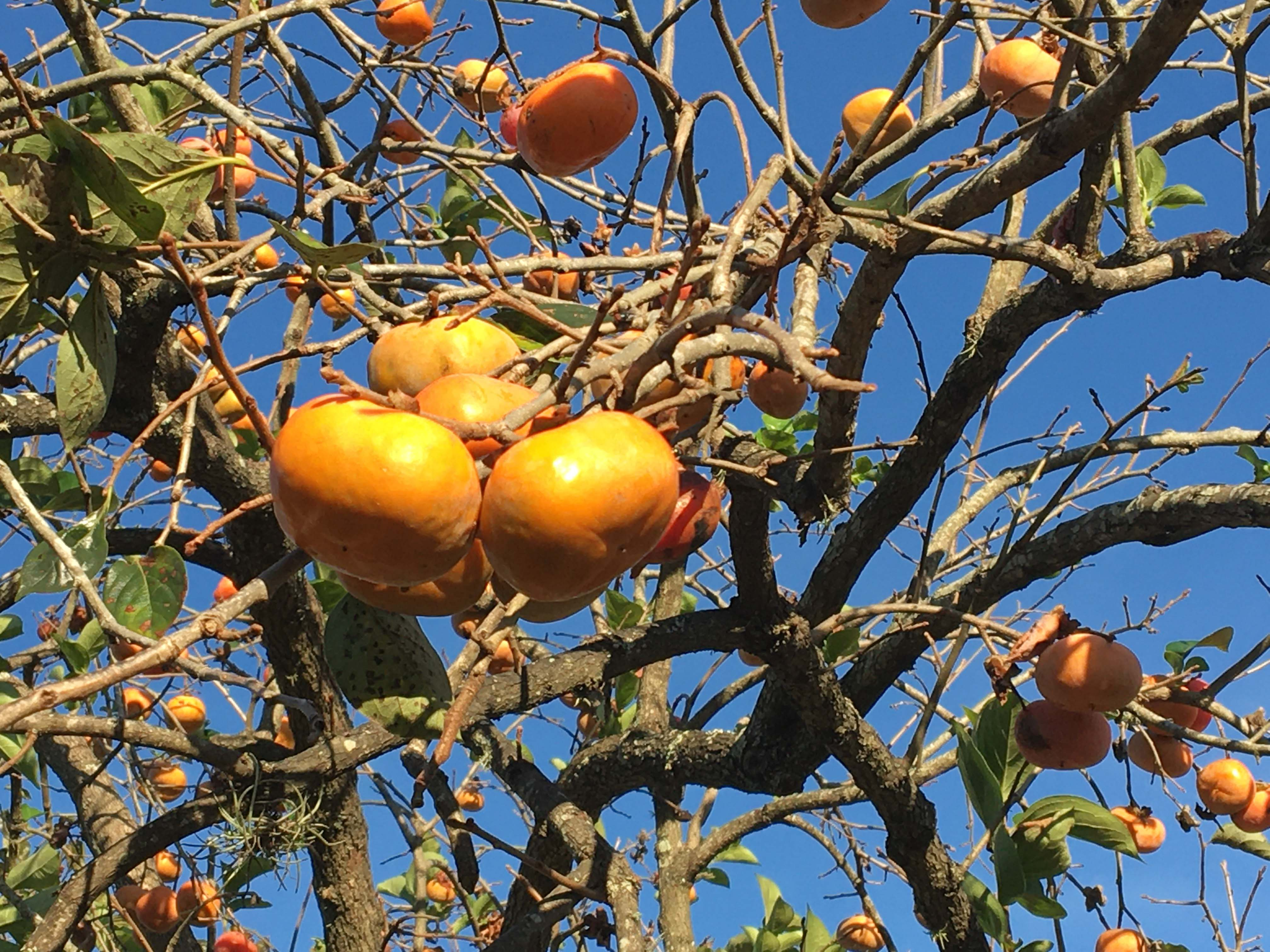 Persimmon fruit hangs on the trees in fall even after leaves have droppedJPG