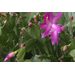 Christmas cactus adds beauty to the holidays and beyond