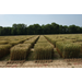 LSU AgCenter wheat, cover crop field day set for April 12