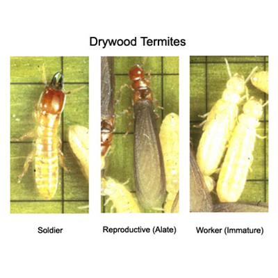 Types Of Termites In Louisiana