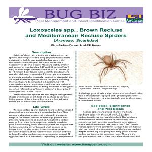 Loxosceles spp., Brown Recluse  and Mediterranean Recluse Spiders (Araneae: Sicariidae)