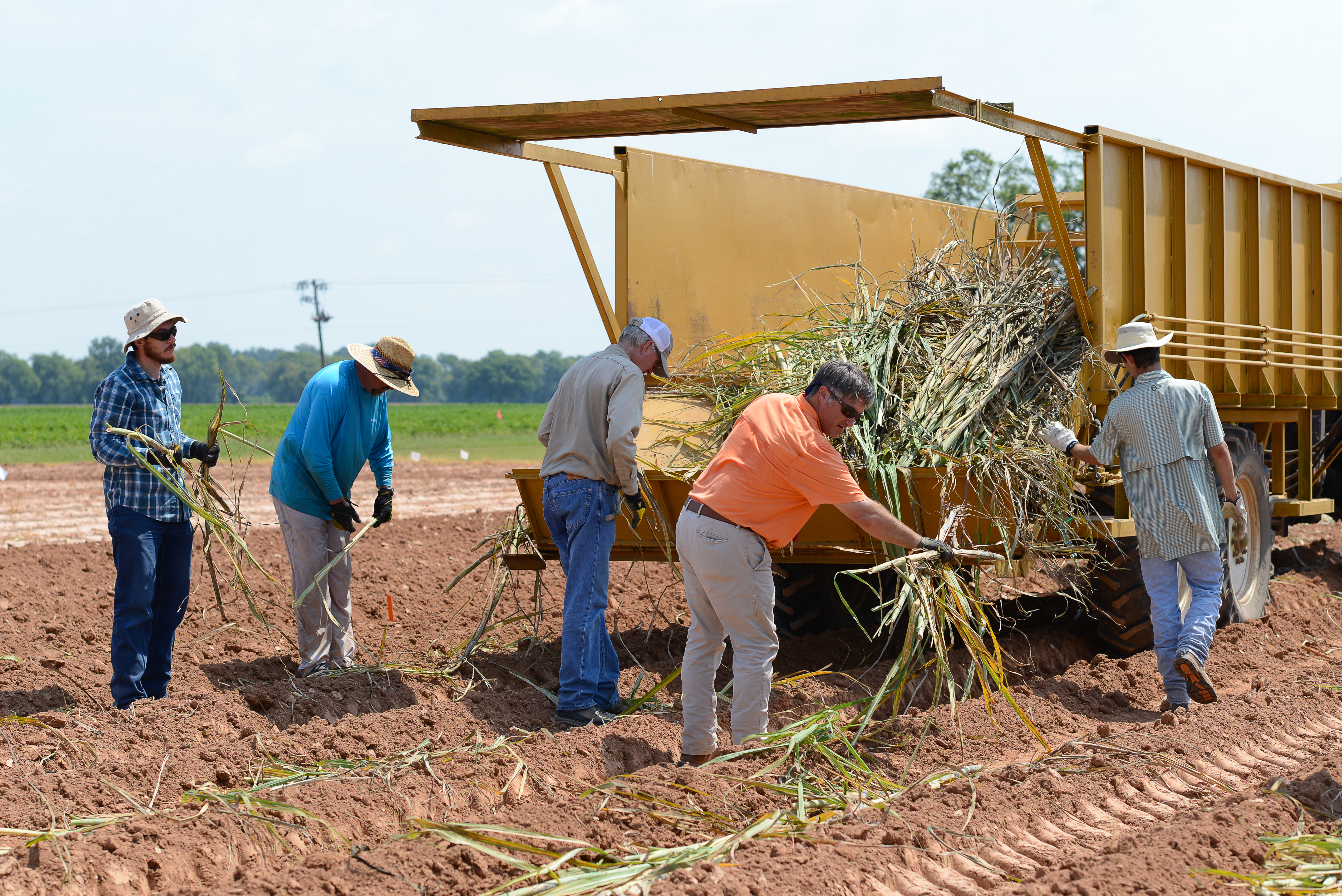 crew plants sugarcane at Dean Lee.jpg thumbnail