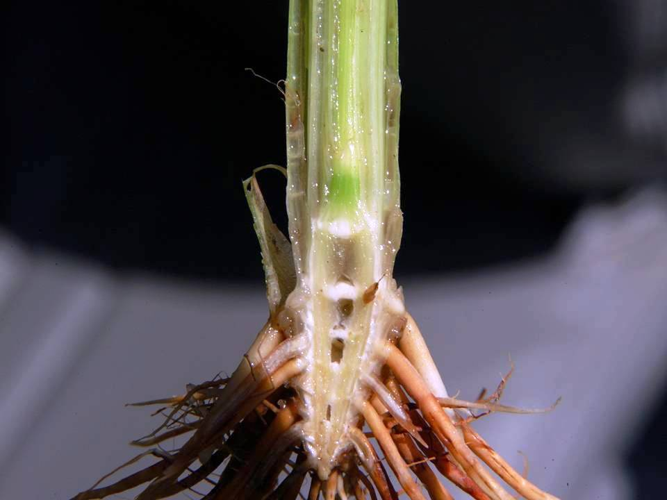 Knowledge Of Rice Growth Stages Important