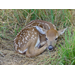 White-tailed Deer Reproduction: How fawns are made