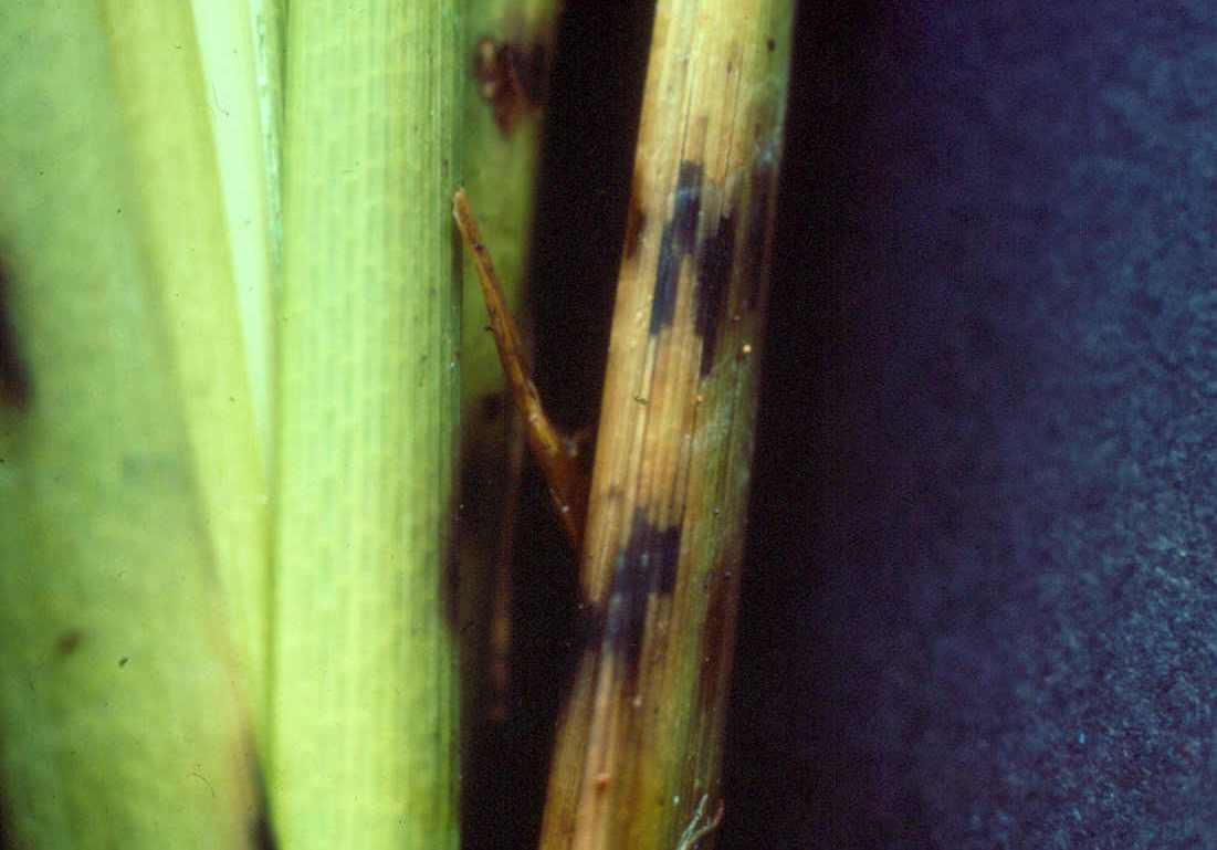 Healthy Vs. Infected Rice Stems