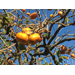 Persimmon: the other orange fall fruit