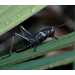 Big, black grasshoppers arrive, but cause little trouble