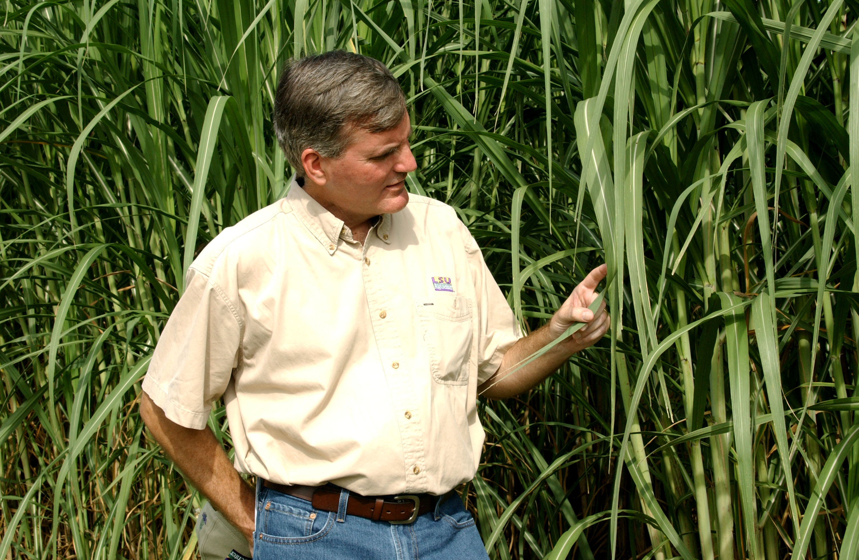 New Varieties Featured At LSU AgCenter's Sugarcane Field Day