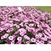 Fall Louisiana Super Plant selection is a petunia