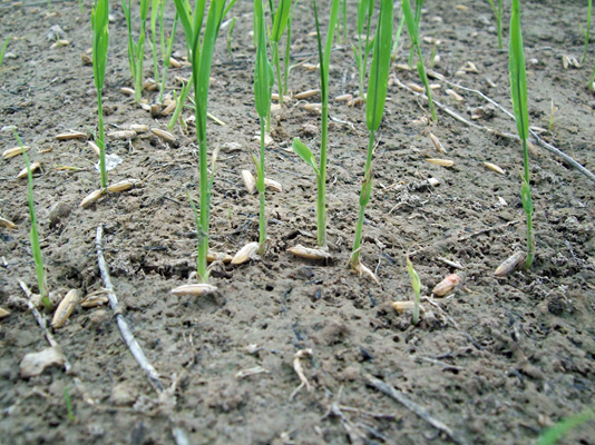 water-seeding rice