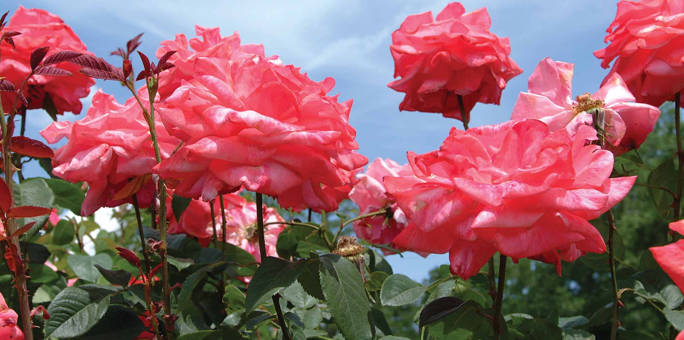 Rose Research Expands