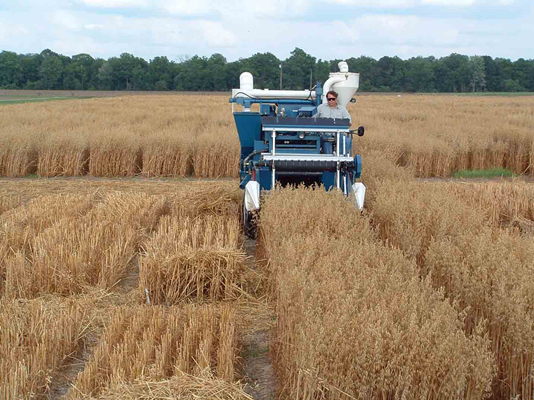Kelly Arceneaux, research associate, cuts oats with a combine