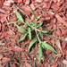 It's Time to Think about Pre-emergence Herbicides for Crabgrass