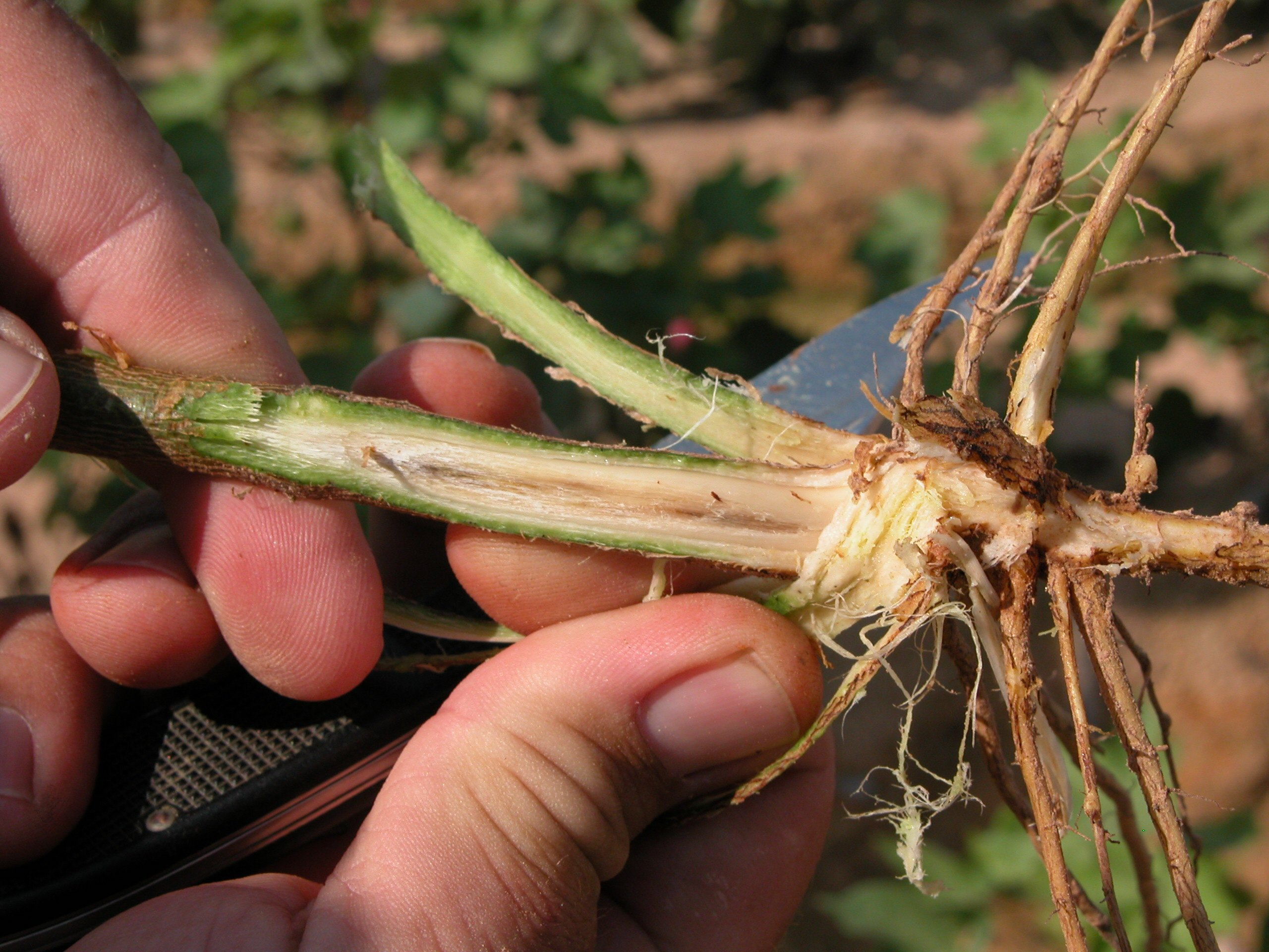 Root-knot nematode on cotton