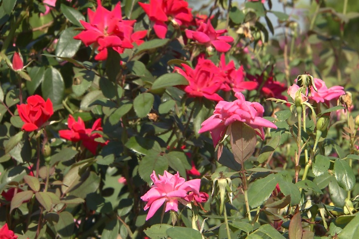 Prune Knock Out roses to improve fall blooms