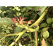 Rose Rosette Disease -  Identification and Management