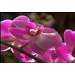 Moth orchids are easy to care for