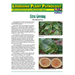 Louisiana Plant Pathology:  Citrus Greening