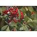 Roots, Shoots, Fruits & Flowers: Holiday Holly, Brown Needles, & Giant Swallowtail Butterfly