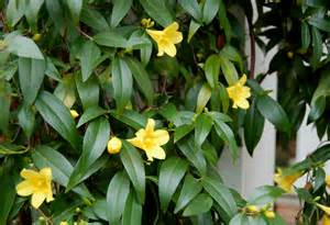 Carolina Jessamine in the Landscape