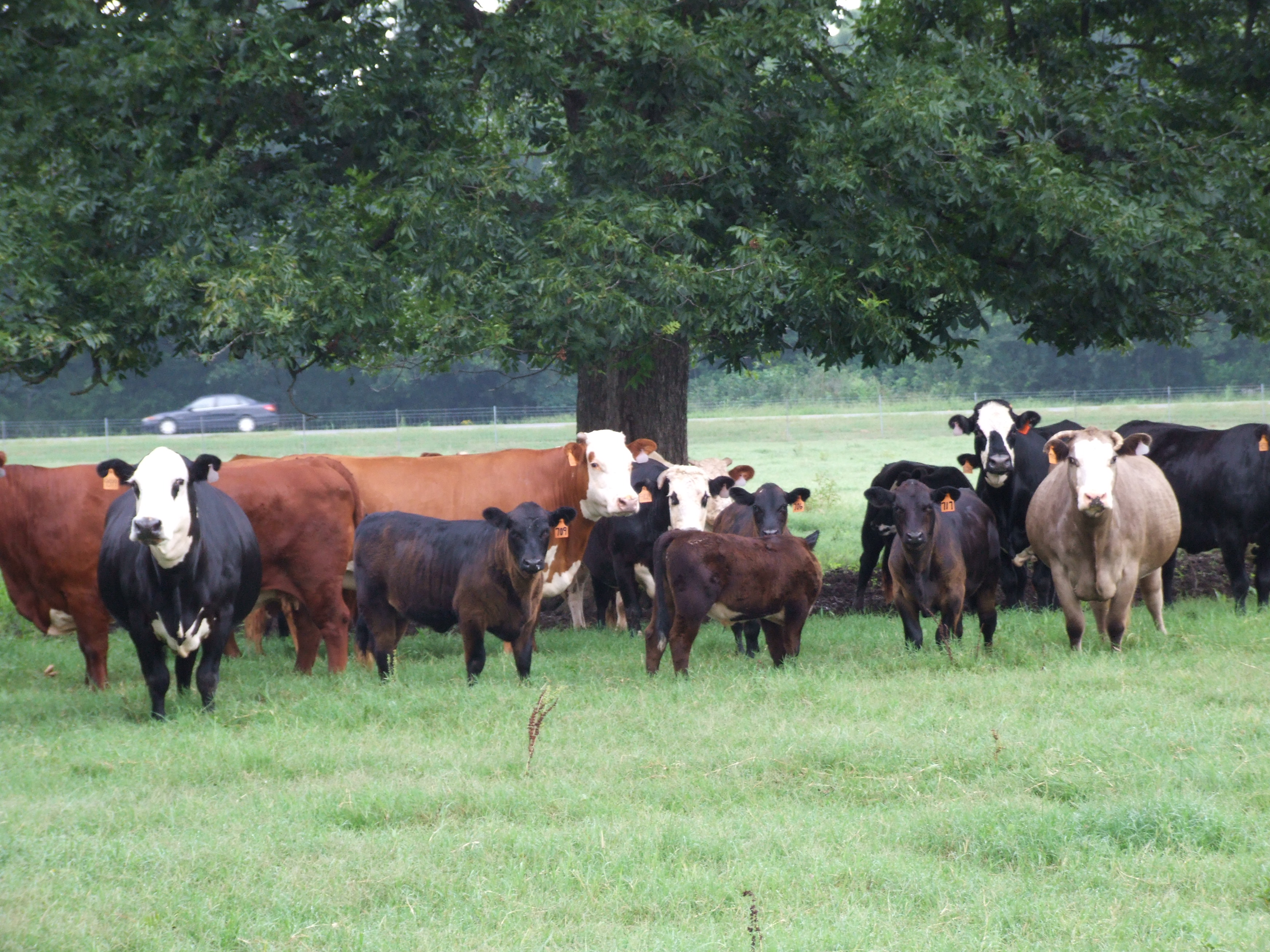 Beef, forage field day set for April 27 in Bossier City