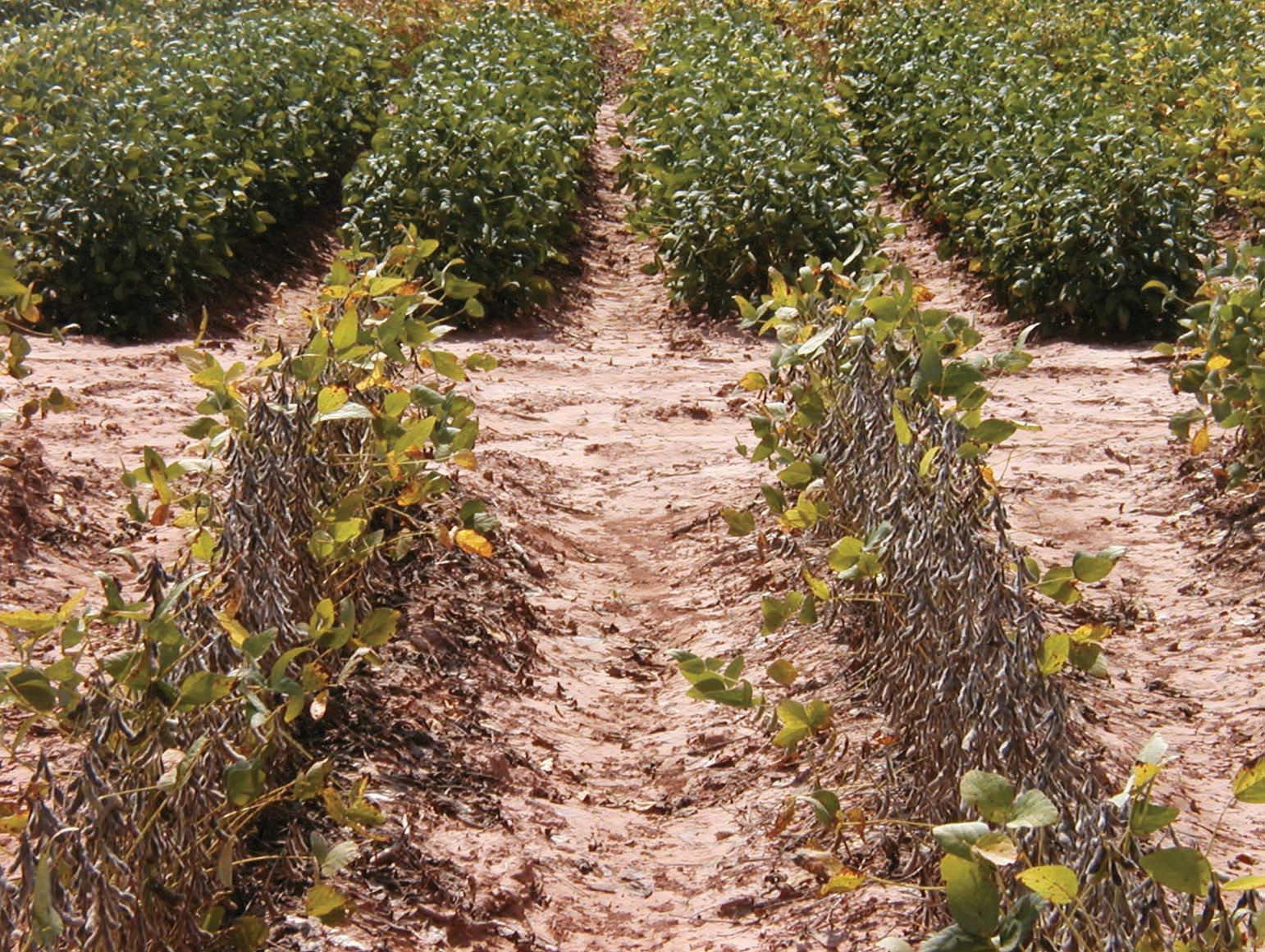 Evaluating very early maturing soybeans in Louisiana