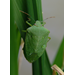 Southern Green Stink Bug