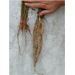 Heavily Pruned Rice Roots