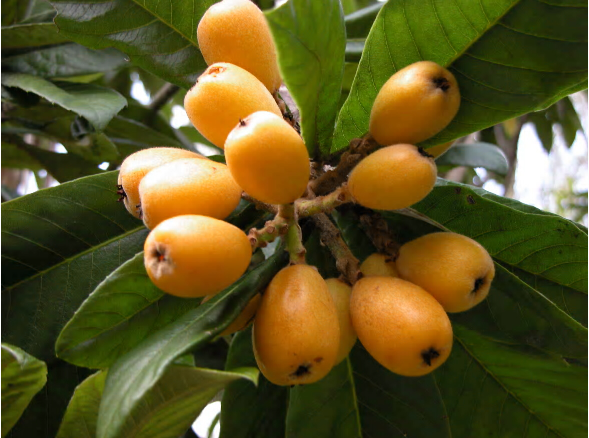 Yellow Oval Office Growing Loquats In Louisiana