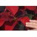 Poinsettias provide beautiful Christmas color