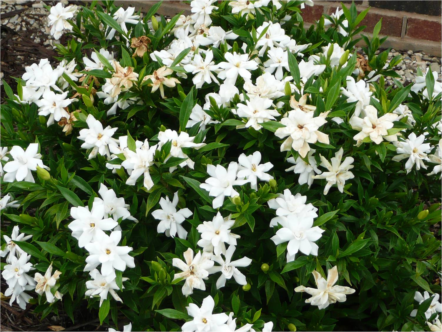 Now is your last chance to prune fertilize many plants gardenia frostproofg thumbnail izmirmasajfo