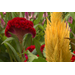 Celosia offers color and variety for summer gardens