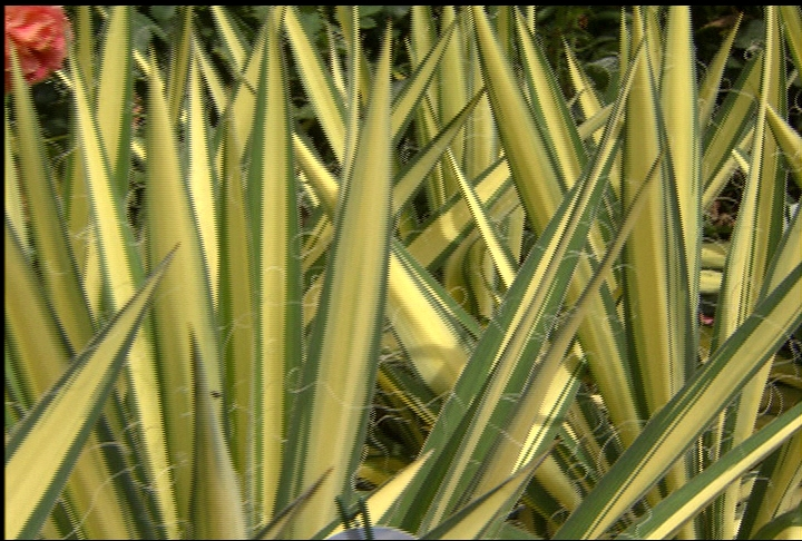 Color Guard yucca – hardy in drought