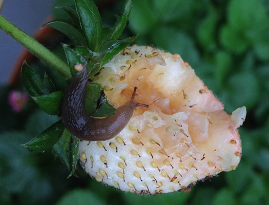slug on strawberry