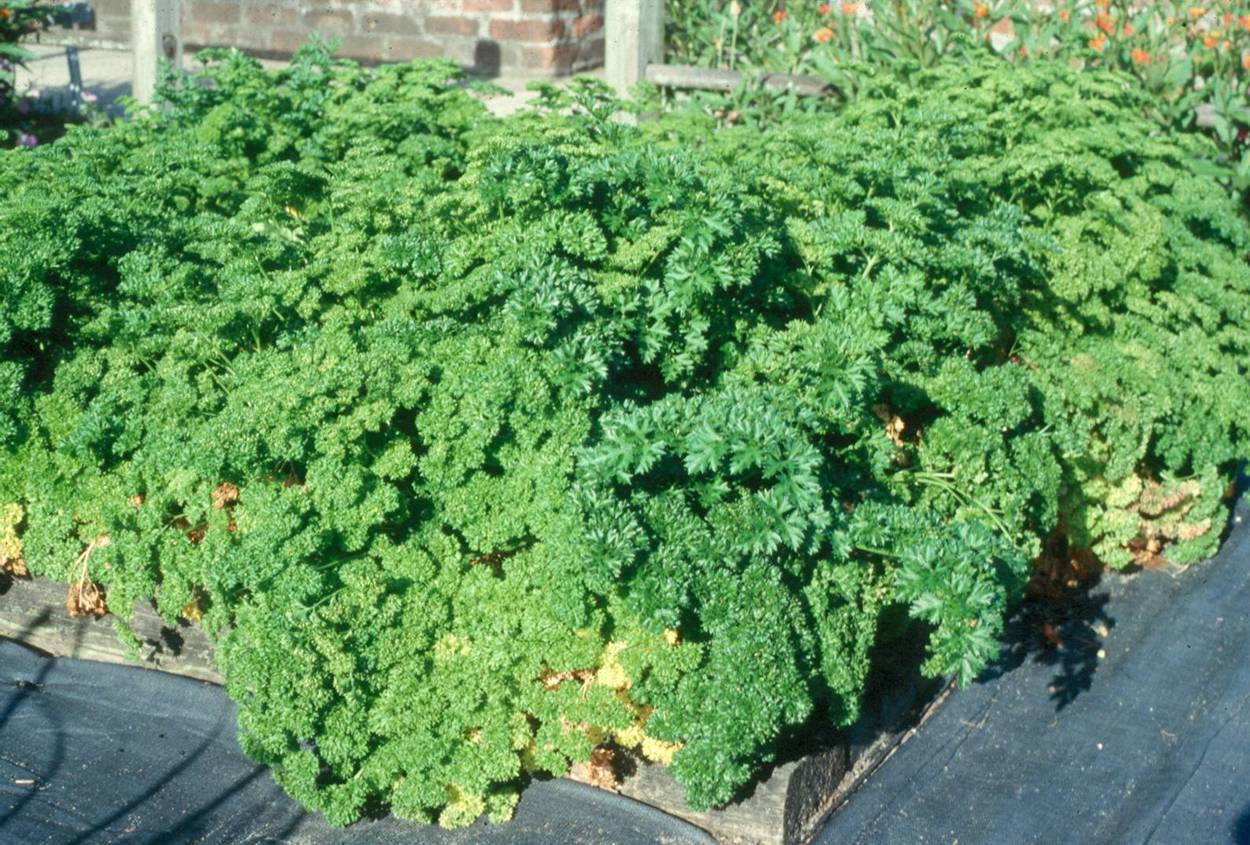 You can grow parsley during winter