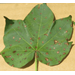 Cotton Leaf Spots