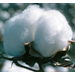 SCO Crop Insurance for Louisiana Cotton Producers