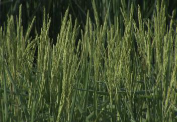 Excessive rain could spell trouble for rice farmers