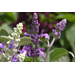 Evolution Violet salvia is new Super Plant