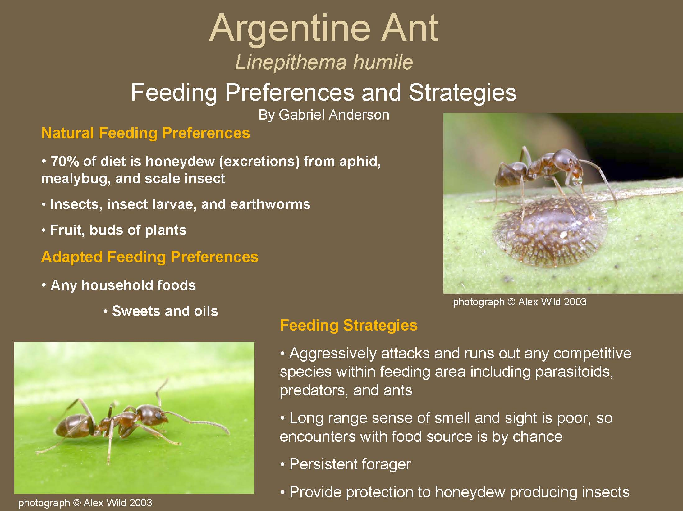 Argentine Ant: Feeding Preferences and Strategies
