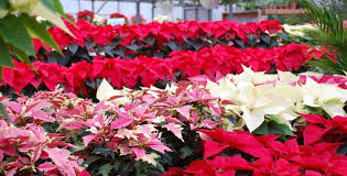 Fall Leaf Color Changes & Choosing the Perfect Poinsettia