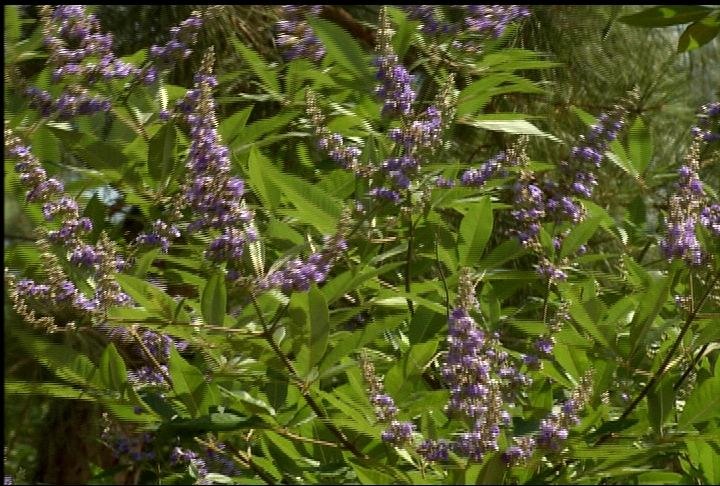 La. Super Plant Shoal Creek vitex is beautiful shrub/tree