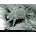 Panicle Rice Mite - Adult