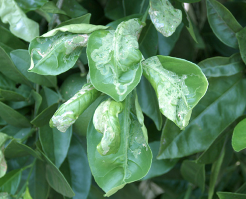 Damage caused by the citrus leafminer
