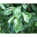 Citrus Leaf Miner Management