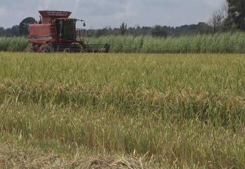 Rain causes rice crop delays