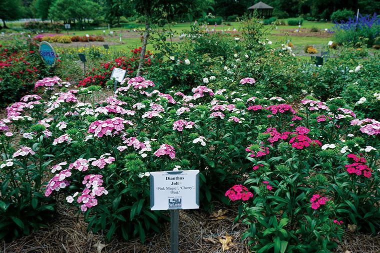 Super Plants Jolt Dianthus