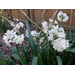 Plant Spring Flowering Bulbs During Fall
