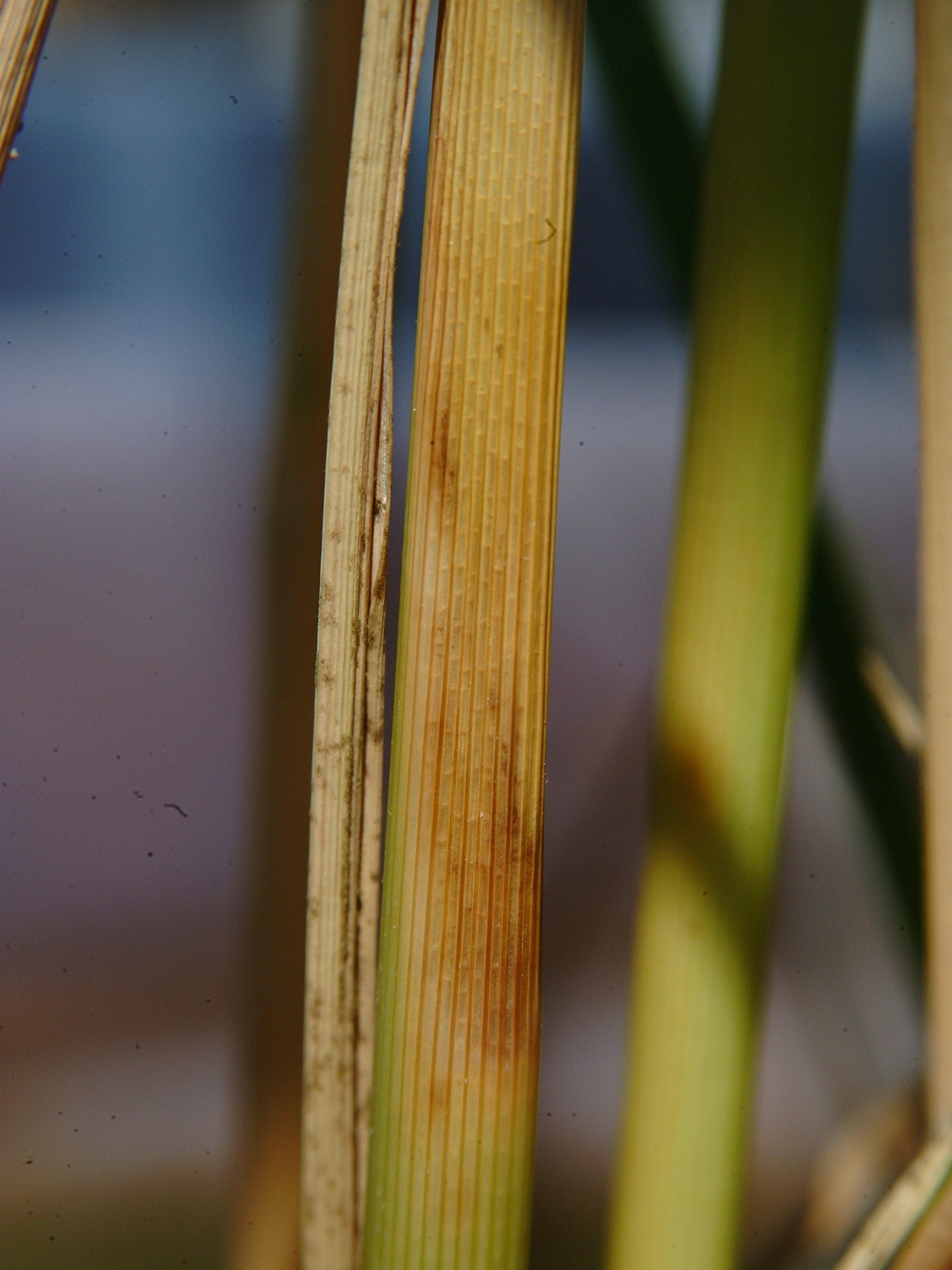 Mite Injury on Leaf Sheath 4